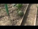 Поспели дыни в саду у дяди Саши