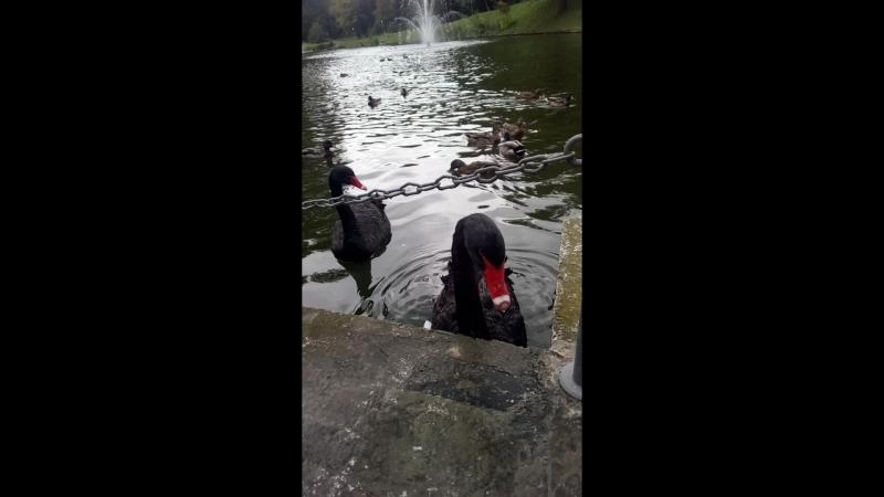 Черные лебеди в Межигорье