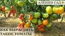 Как вырастить крупные помидоры Лекция Валдиса Клуб Томат Рига