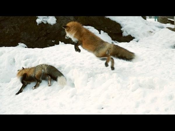 キツネのじゃれあい The foxes are playing around and lie down with each other.