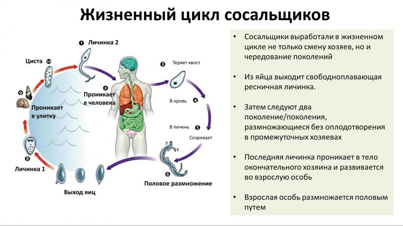 6.2 Тип Плоские черви - разнообразие (7 класс) - биология, подготовка к ЕГЭ и ОГЭ 2018