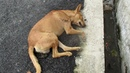 Life saving rescue of unconscious street dog
