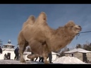 Siberian shamans outrage Russians with camel sacrifice ritual