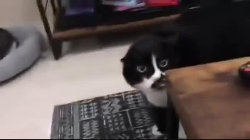 Кот из Санкт-Петербурга запел «грузинские песни»