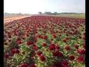 Peony Red Charm Flowers