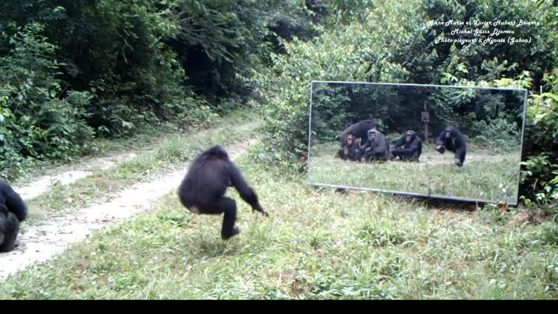 Chimpanzees tape dance