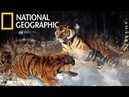 National Geographic Documentary Tigers Revenge - Nat Geo wild