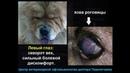 Пластика век у собаки породы чау-чау