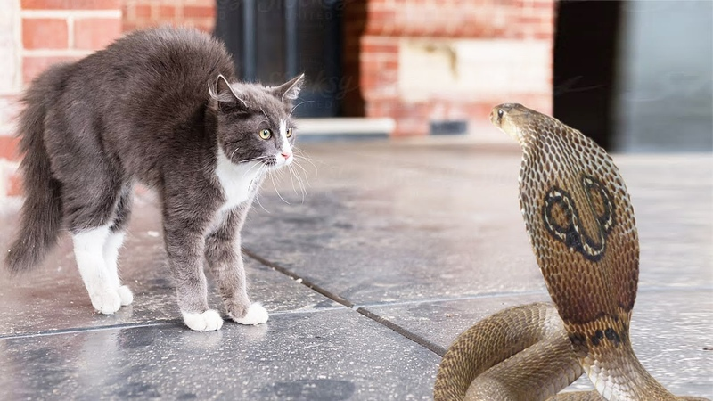 Cat Vs King Cobra Power Of Big Cat Wild Animal Fighting