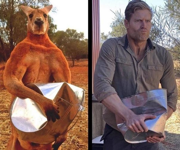 Кенгуру Роджер прославился в 2015 году, когда фотографии его мускулистого тела и огромных бицепсов распространились по интернету. Роджер был спасен Крисом Барнсом, владельцем приюта Кенгуру в Алис-Спрингс, Австралия, из сумки мертвой мамы. Самец красного
