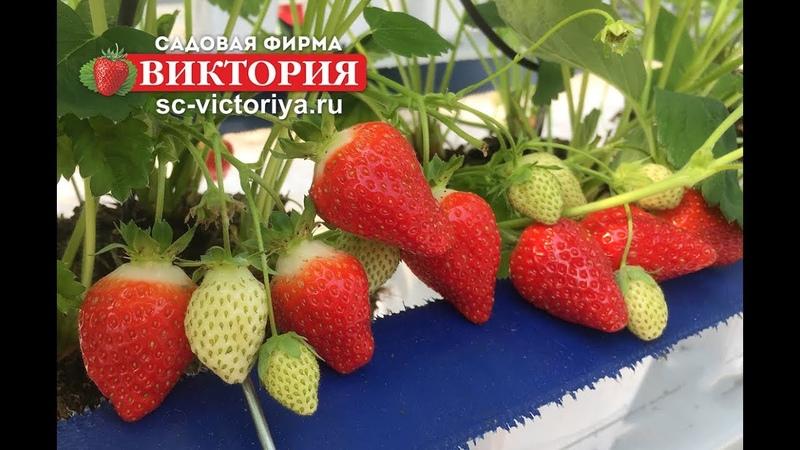 Крупноплодная земляника или клубника, возникающие трудности при выращивании и пути их решения.
