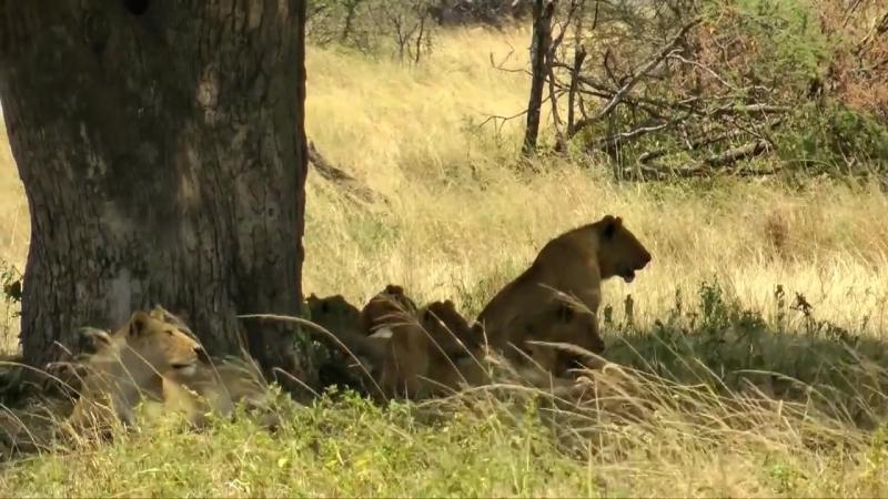 Серенгети, Танзания - HD видео экскурсия