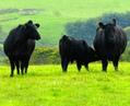 Aberdeen Angus Rinder - Alte Nutztierrassen Folge 63 - Doku, Black Red Blue Grey Cattle, Kühe