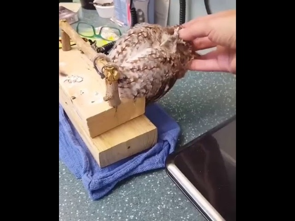 Сова кайфует от массажа owl fell from the massage