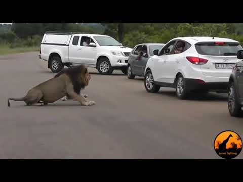 Lion Shows Tourists Why You Must Stay Inside Your Car Latest Wildlife Sightings MosCatalogue net