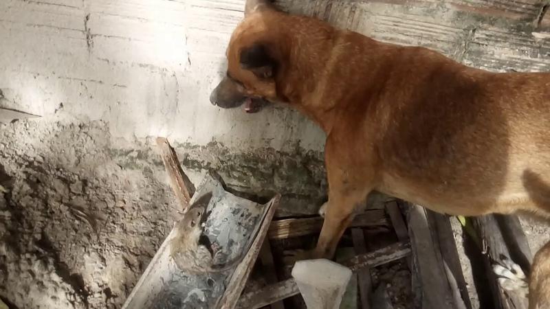 Cachorro matando um rato grande