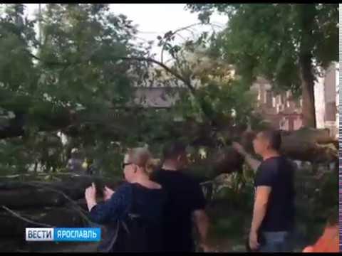 В центре Ярославля упало многолетнее дерево