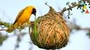 Los nidos más asombrosos del mundo animal