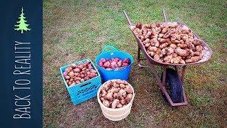 337 lbs of Potatoes NO digging NO watering and NO work
