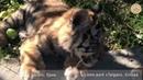 Тигриная семья Тайган Крым Tigry family Taigan Crimea
