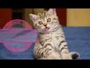 Японский рак омар vs кошек. Смешные коты 2019