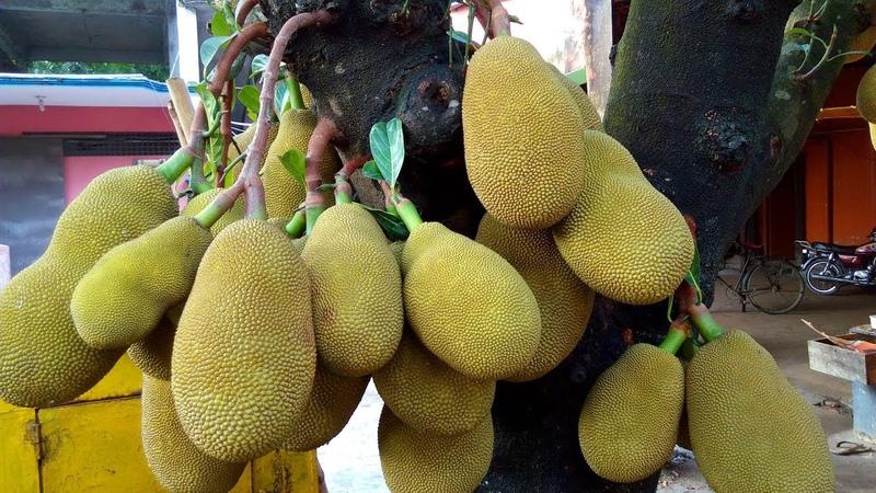 How to Graft jackfruit tree with Natural Jack fruit Tree |