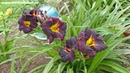 Цветение сортового лилейника BLACK LAPIS в саду