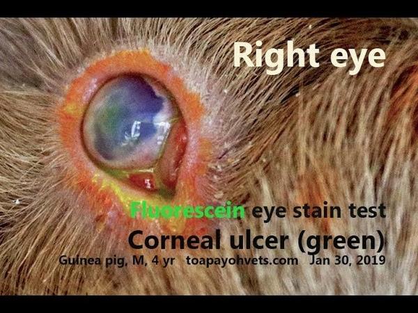 Мутные болезненные глаза у 4-летнего самца морской свинки. Почему? Часть 1 / The 4-year-old male guinea pig has cloudy painful eyes. Why? Pt 1