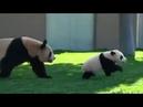 Мама панда играет со своим ребенком