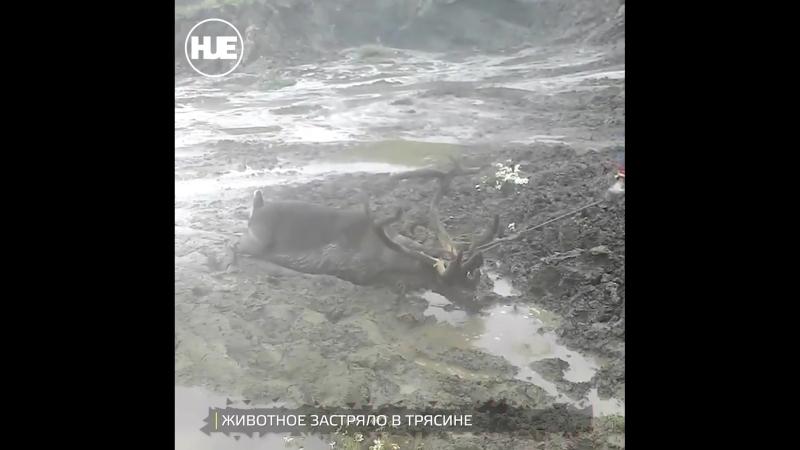 На Ямале местные жители спасли оленя из трясины