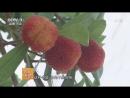 Восковница красная Myrica rubra ЯнМэй тополь сливовый либо ЛэнМэй остроугольная слива и даже ШэнСэн святой м