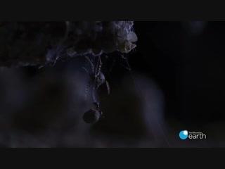 Необычная охота паука на муравьев (впервые на видео)