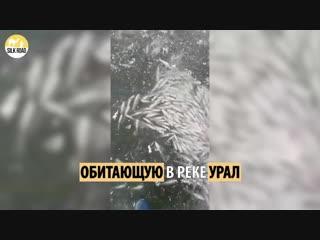 Массовая гибель рыб в Атырау