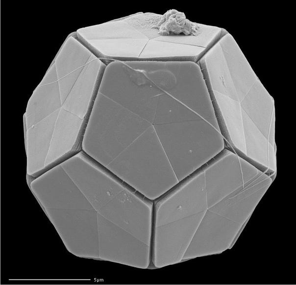 Кокколитофориды: гениальная архитектура в одной клетке