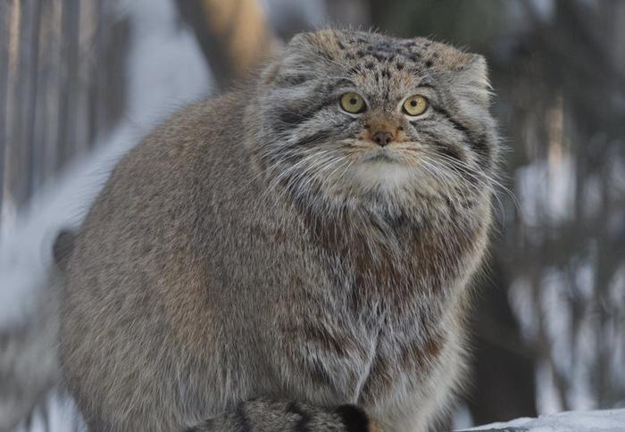 Манул, или палласов кот