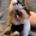 @toffiecoco on Instagram I think yawning is one of the cutest things guinea pigs can do