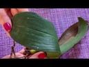 Наращивание корней с нуля у орхидеи Новая реанимашка Нет корней и тургора