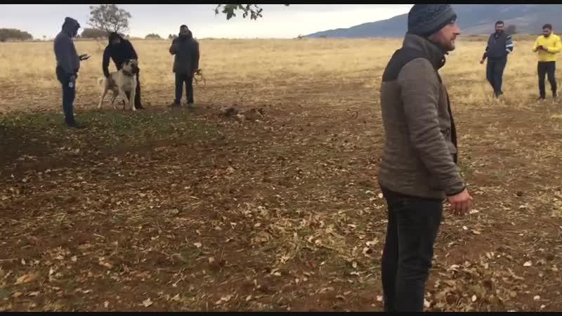Denizli'den TR kangal şampiyonu Reşo oğlu LEO Denizli Çivril'den ATEŞ