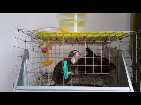 Смокинговые и обычные маньчжурские перепела - вес птиц и яйца. Обновленное поголовье quail