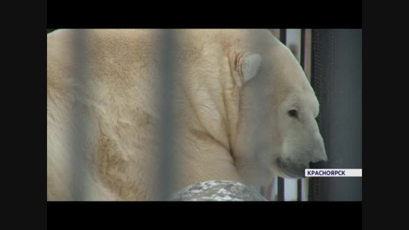 Спасенная на Диксоне белая медведица спровоцировала семейную ссору между Феликсом и Авророй