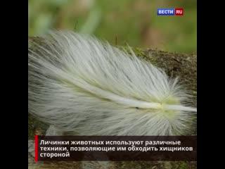 Гусеница маскируется под перо, чтобы скрыться от хищников
