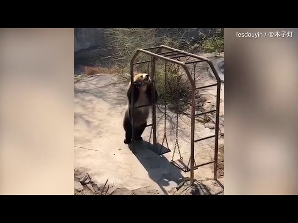 Медведь пищухоед пустился в пляс в честь теплой погоды