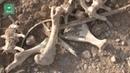 Сирия: ФАН публикует видео с места обнаружения братской могилы жертв ИГ в Пальмире