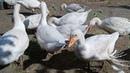 Гуси 2 месяца вес 6.2 кг Выращивание гусей породы Датский Легарт
