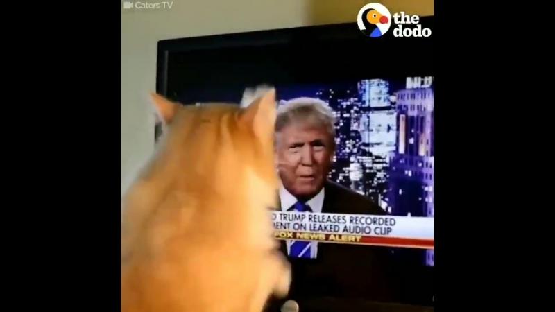 Кот точит когти об Трампа а возможно просто закапывает Коту видней