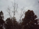 Чёрный дятел (желнА). Часть 2, где слышен крик птицы и она улетает.