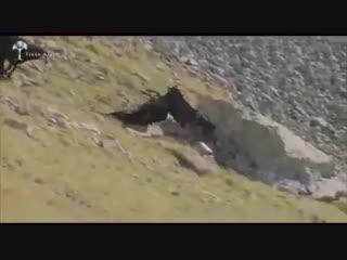 Дикая природа. Схватка Орел vs Горный Козел