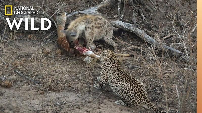 Взрослый самец леопарда присваивает тушу гиены и леопарда