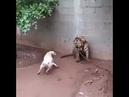 Tiger kills stupid dog