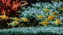 Planted Aquarium Tetras